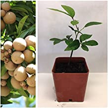 LONGAN TROPICAL FRUIT PLANT FROM FLORIDA COMES WITH BONUS OF 10 ORGANIC SEEDS!