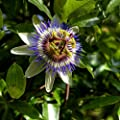 The Blue Passion Flower seeds - Passiflora caerulea