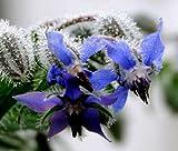 Borage Organic Borago Officinalis - 100 Bulk Seeds