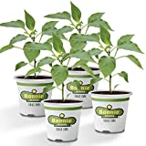 Bonnie Plants Tabasco Pepper (4 Pack) Live Plants