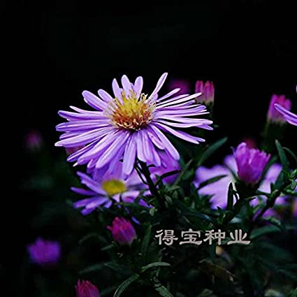 Amazon potted flowers seeds netherlands chrysanthemum blue potted flowers seeds netherlands chrysanthemum blue purple new york aster perennial resistant to cold seeds 100seeds mightylinksfo