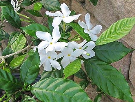 Amazon 5 Asian Star Jasmine Seeds Rare Tropical Fragrant