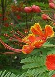 TROPICA - Pfauenstrauch/Stolz von Barbados (Caesalpinia pulcherrima) - 10 Samen