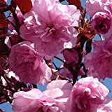 Dwarf Patio Royal Burgundy Flowering Japanese Cherry Tree 3-4ft Supplied in a 5 Litre Pot