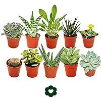 Lote de 10 plantas suculentas diferentes en macetas de 5,5 cm