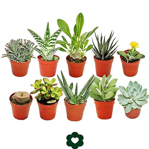 Set of 10 different succulent plants - 5,5cm pot im Set Exotenherz