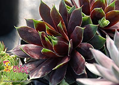 "Cranberry Cocktail Hens & Chicks - Sempervivum-Indoors/Out-3.5"" Pot-Chick Charms"