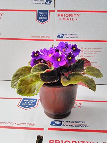 novelty-african-violet-4-with-ceramic-pot-better-growth-best-blooming-plant-unique-from-jmbamboo