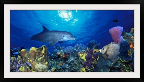 greatBIGcanvas Bottle Nosed dolphin (Tursiops truncatus) and Gray angelfish (Pomacanthus arcuatus) on coral reef in the sea Photographic Print with Black Frame, 48