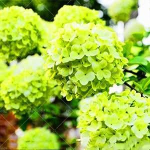 10pcs raras semillas Hydrangea azul hortensia flor, semilla colores mezclados de semillas Decorado Jardín Bonsai Las plantas de hortensias 8 Fort Viburnum