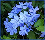 "Diamond Perennials 6-10"" Tall Blue Plumbago Leadwort Potted Plant"