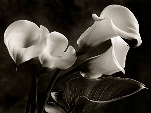 24W x 36H Calla Lilies No. 1 by Sondra Wampler - Stretched Canvas w/ (Sondra Wampler Calla Lilies)