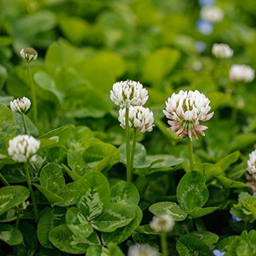 - Outsidepride White Dutch Clover Seed: Nitro-Coated, Inoculated - 5 LBS