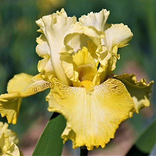 Tall Bearded Flag Iris Bulbs - 4 Bulbs, Perennial Garden Flower, Heat Resistant, Attractive Easy to Plant