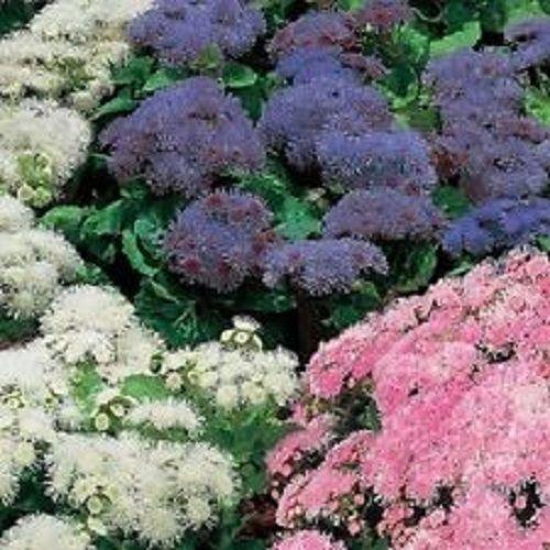50+ Ageratum Hawaiin Mix Flower Seeds / - Store Hawaiin