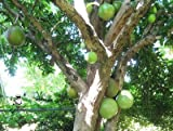 Seed and Things Calabash Tree, (Crescentia Cujete) 10 Seeds