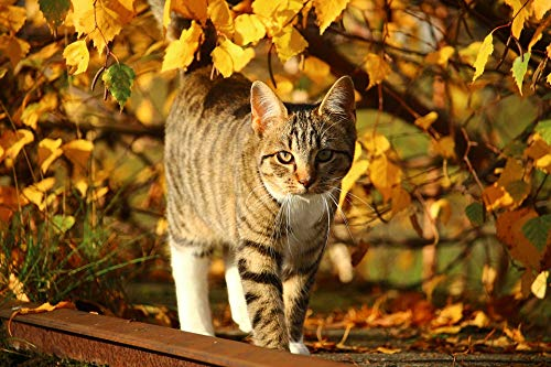 (Home Comforts Peel-n-Stick Poster of Mackerel Kitten Cat Leaves Fall Foliage Autumn Vivid Imagery Poster 24 x 16 Adhesive Sticker Poster Print )