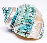 Nautical Crush Trading Polished Jade Green Turbo Shell | 3.5'' - 4'' |1 Piece (Banded Stripes)
