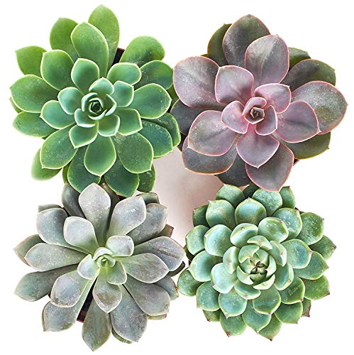 - Shop Succulents Rosette Succulent (Collection of 4), 4