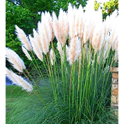 Seeds Cortaderia Selloana Alba Pampas Grass White Get 1000 Fresh Seeds Easy Grow AB008 : Garden & Outdoor