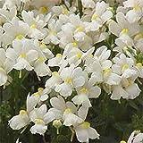 Nemesia- White Knight- 100 Seeds