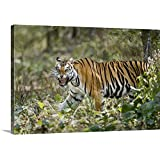 Canvas On Demand Premium Thick-Wrap Canvas Wall Art Print Entitled Bengal Tiger Panthera Tigris Tigris in a Forest Bandhavgarh National Park Umaria District Madhya Pradesh India