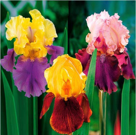 - Seed House-KOUYE 50 Pieces Dutch Iris Autumn Princess, Iris Seeds Hardy Irises Mix Purple/White Bonsai Rare Perennial Flower Seeds Home Garden Plants