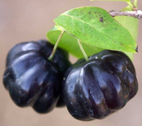 3 LIVE SEEDLINGS Surinam Cherry Fruit Tree cultivar BLACK STAR Eugenia uniflora