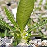 Pachypodium eburneum Cactus Cacti Succulent Real Live Plant