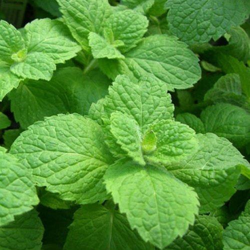 Apple Mint Herb (Apple Mint Woolly Mint (100 Seeds))