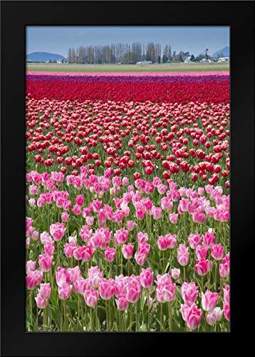 USA, Washington Field of Multicolored Tulips Framed Art Print by Shimlock, Jones