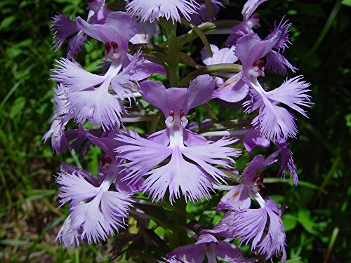 Purple Fringed Orchid - (WFO)~GREATER PURPLE FRINGED ORCHID~Seeds!!~Platanthera grandiflora!
