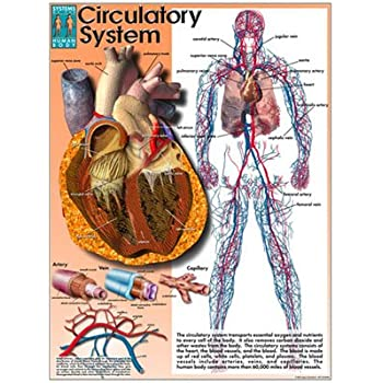 Amazon Systems Of The Human Body Poster Series Laminated