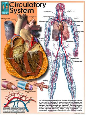 Systems of the Human Body Poster Series - Laminated