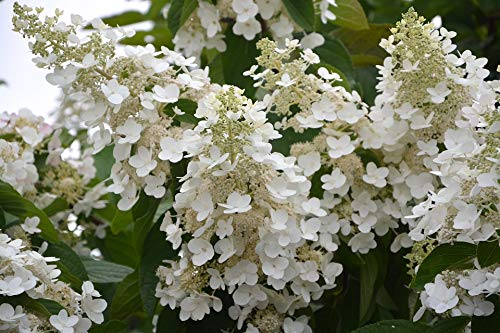 Home Comforts Peel-n-Stick Poster of Flowers Small White Flowers Hydrangea White Cone Vivid Imagery Poster 24 x 16 Adhesive Sticker Poster Print (Haze Cone)