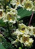 TROPICA - Trumpet Tree / Yellow (Catalpa ovata) - 50 Seeds - Mediterranean