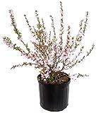 Prunus glandulosa 'Rosea' (Pink Flowering Almond) Shrub, 3 - Size Container