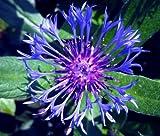 CORNFLOWER MOUNTAIN BLUET PERENNIAL Centaurea Montana - 200 Bulk Seeds