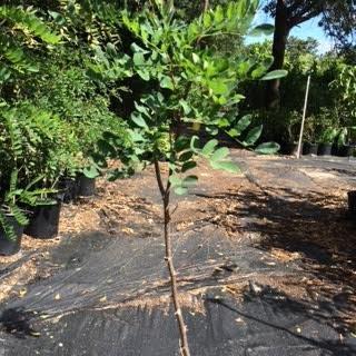 (BLACK LOCUST TREE - 2 Year Old 3-4 Feet Tall )
