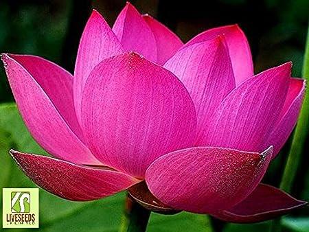 Buy Chinese Pond Lotus Flower Seeds Water Plant Flower Nelumbo Lotus