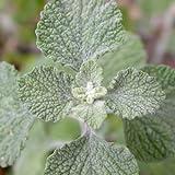 White Horehound Herb Seeds (Marrubium Vulgare) 400+Seeds