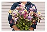 David's Garden Seeds Flower Columbine McKana Giant OL113 (Multi) 500 Non-GMO, Open Pollinated Seeds