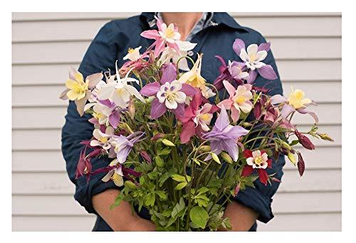 David's Garden Seeds Flower Columbine McKana Giant OL113 (Multi) 500 Open Pollinated Seeds