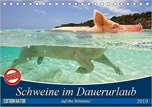Schweine im Dauerurlaub auf den Bahamas! (Tischkalender 2019
