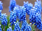 Gifts Delight Laminated 32x24 inches Poster: Muscari Common Grape Hyacinth Blossom Bloom Flower Blue Ornamental Plant Garden Plant Muscari Botryoides Asparagus Plant Asparagaceae