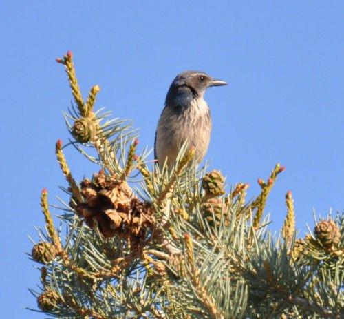 pine-pinyon-pinion-edible-nut-tree-5-seeds