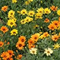 Outsidepride African Daisy - Mix