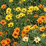 Outsidepride African Daisy Mix - 5000 Seeds