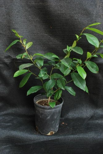 9GreenBox - Fragrant Michelia Figo ''Banana Shrub'' 1 Gal Live Plant