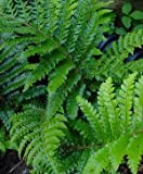 "(1 Gallon Plant) TASSEL FERN, Polystichum polyblepharum means ""Many Eyelashes"". Gorgeous, Deep, Glossy Green Leaves, Hardy to Zone 5"